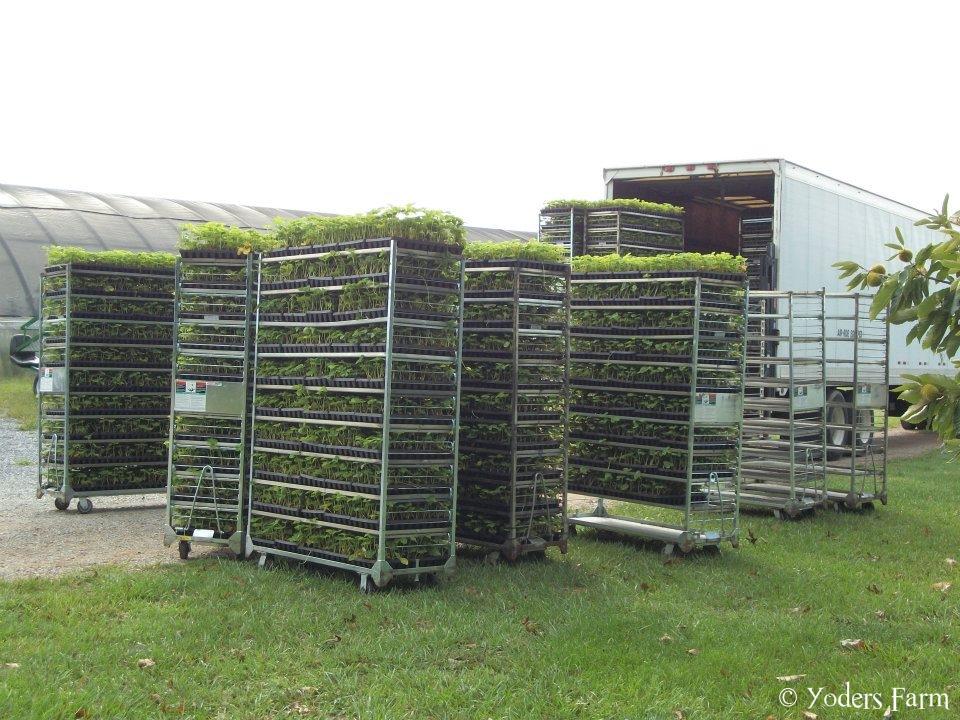 40,000 Chandler Strawberry Plants @ Yoders Farm