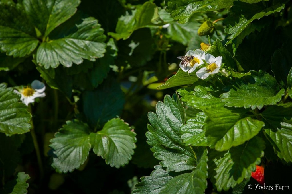 Pollinating Away @ Yoders Farm