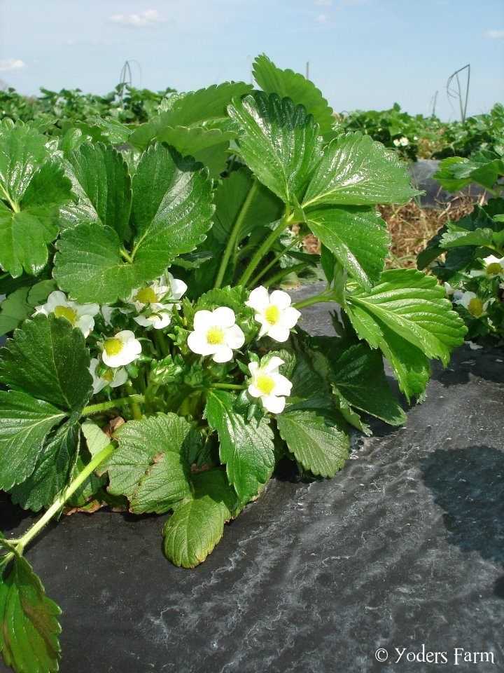Blooming Strawberries @ Yoders Farm