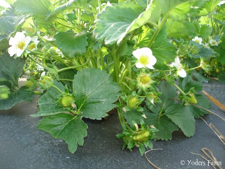 Strawberries @ Yoders Farm