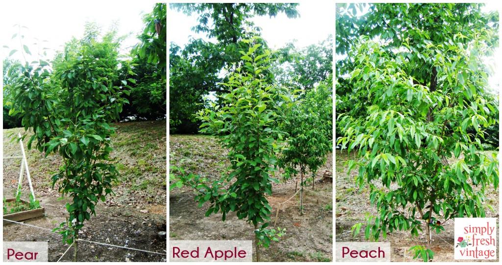 Fruit Trees ... Simply Fresh Vintage