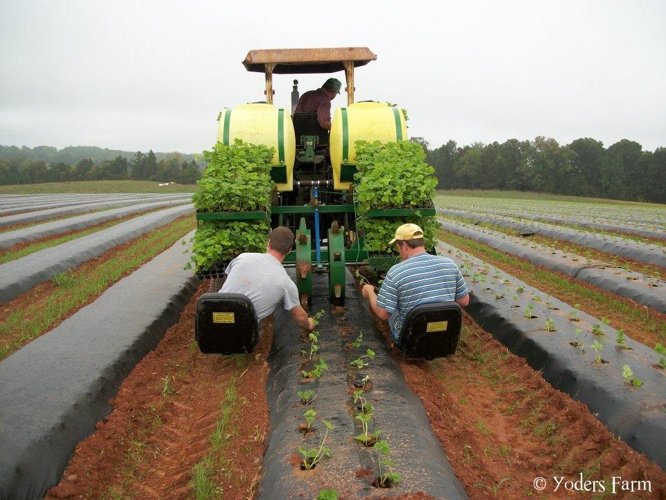 Planting Plugs @ Yoders Farm