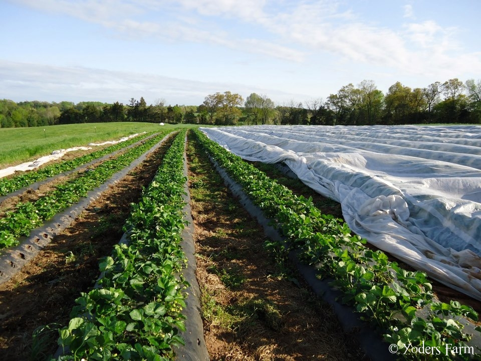 Uncovering Strawberries @ Yoders Farm